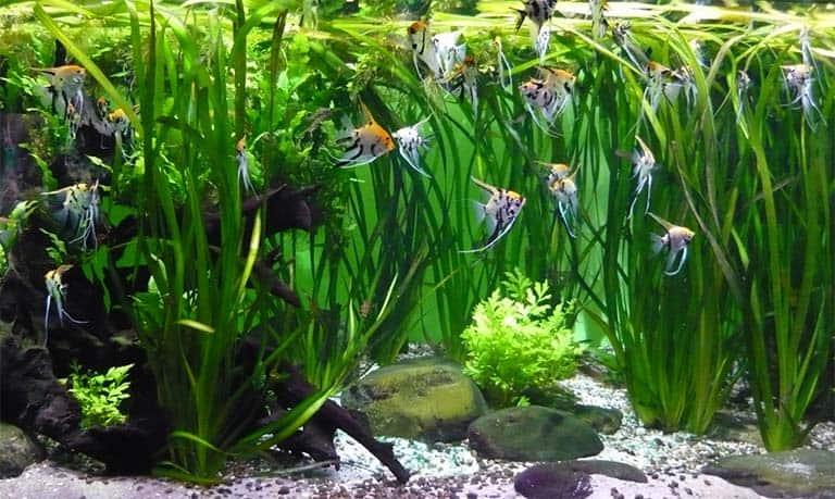 Los Peces Ángeles son majestuosos  en el mundo de los Peces de acuario