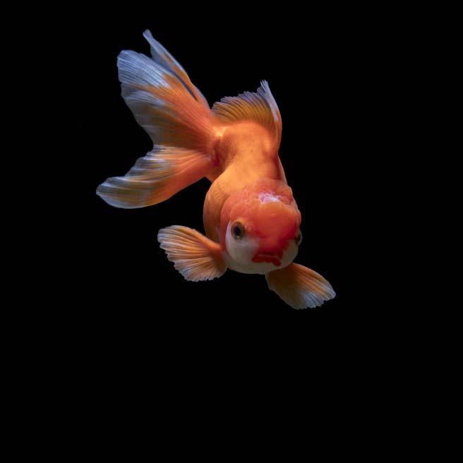 Carassius auratus – Goldfish - Pez dorado en el acuario