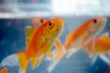 Carassius auratus – Goldfish