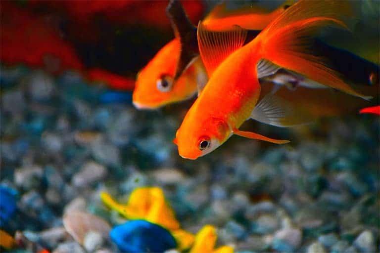 Carassius auratus – Goldfish - Pez dorado