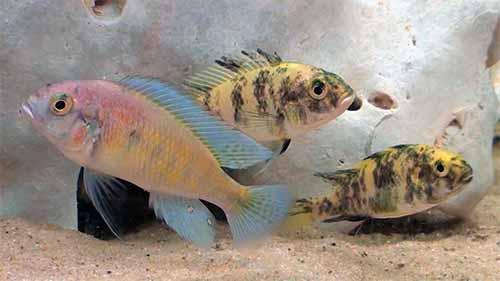 Haplochromines or Haps are basically non-Mbuna cichlids