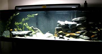 lake Victoria biotope tank