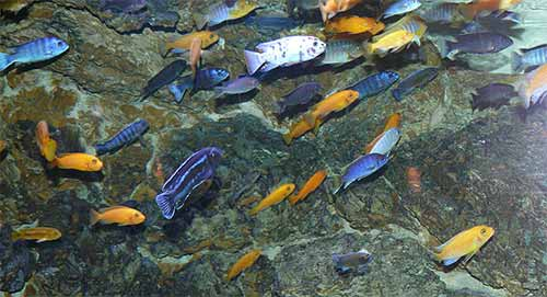 Mbuna (um-boo-nuh)is the name of of a group of small rock dwelling cichlids