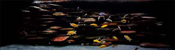 Lake Tanganyika cichlid species