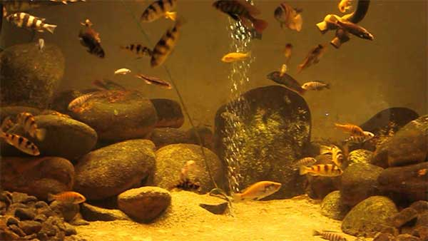 Lake Victoria and satellite lake Cichlids