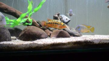 central america - cichlids