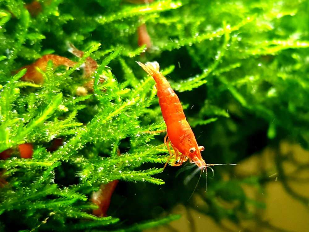 Los camarones cereza y el musgo pueden reproducirse en el mismo tanque,