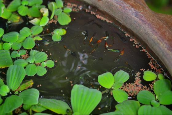 Cómo hacer un mini estanque al aire libre para peces de acuario