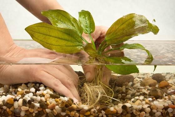 Guía rápida: Cómo plantar plantas de acuario vivas