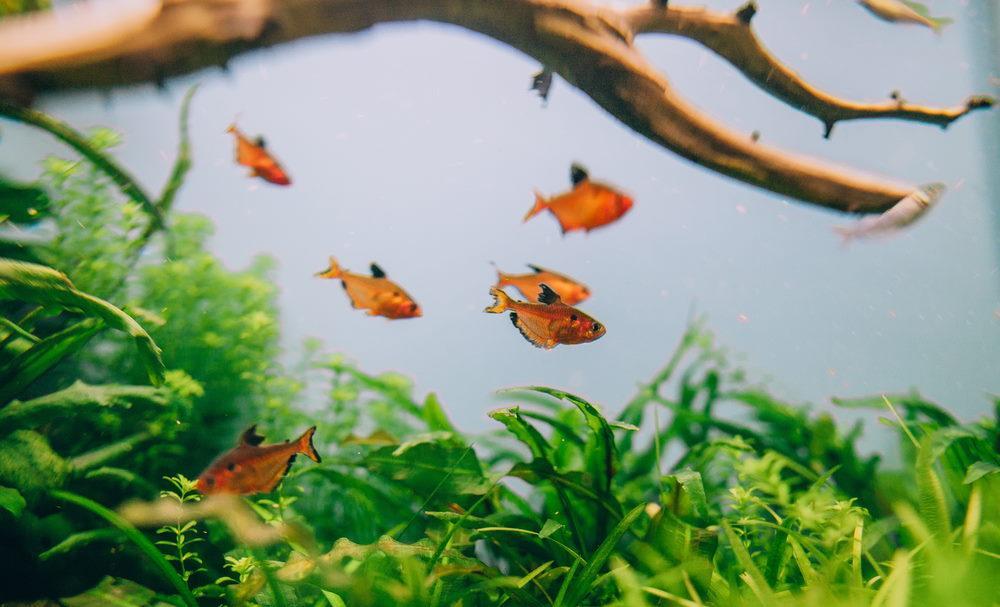 Hyphessobrycon minor en acuario plantado