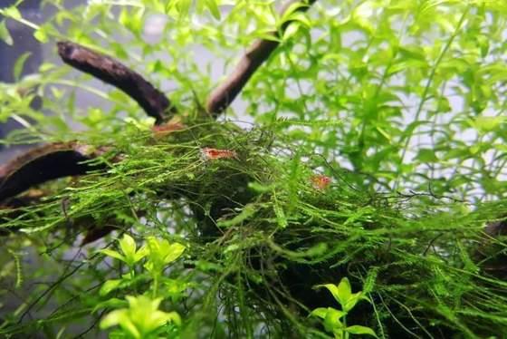 Musgo de Java: planta fácil de poca luz para principiantes