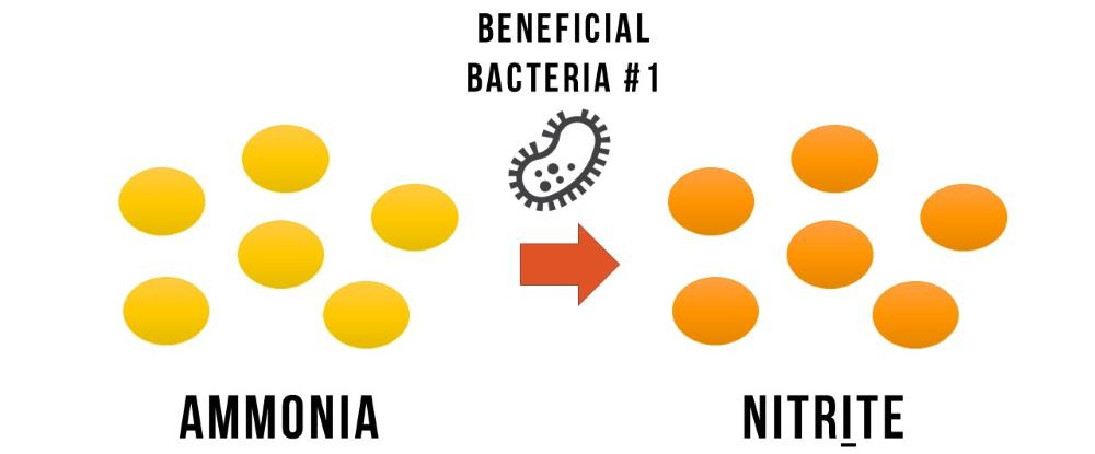 La bacteria beneficiosa # 1 se come el amoníaco y produce nitritos.
