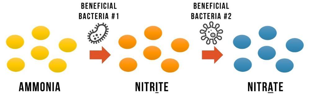 Los peces continúan comiendo alimentos y produciendo desechos, que se procesan a partir del amoníaco y los nitritos en más nitratos.