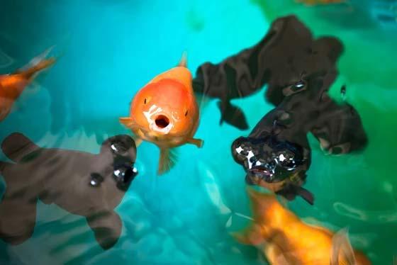¿Con qué frecuencia alimenta a los peces (y cuánto)?
