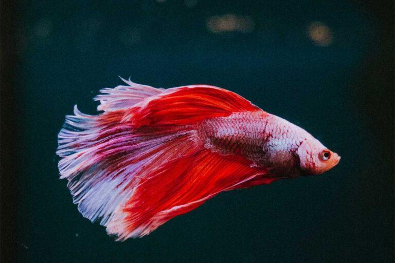 Guía de cuidados para peces Betta: el mejor pez para principiantes