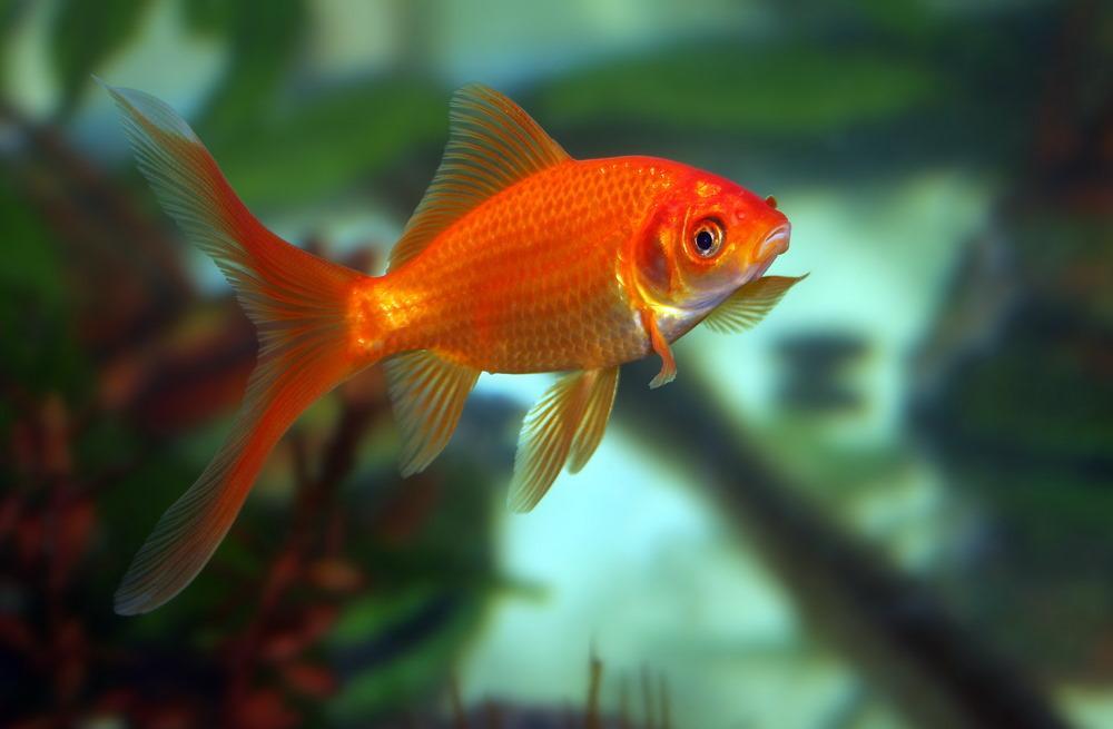 pez dorado común naranja Goldfish