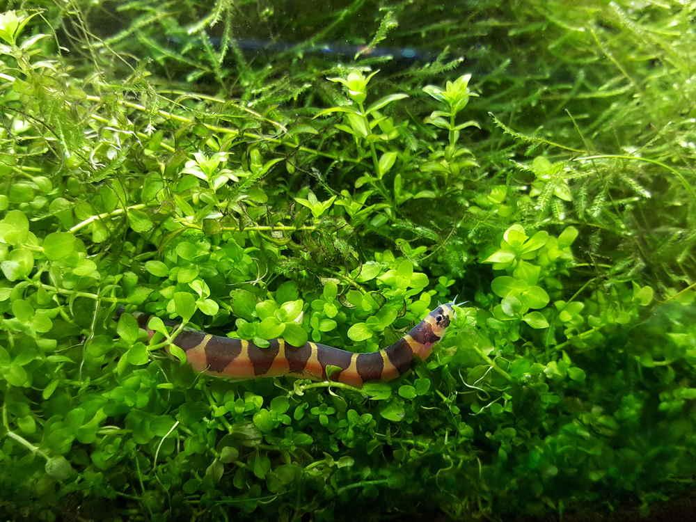 Loach Kuhli en acuario plantado