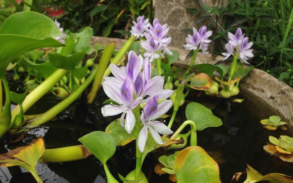 flores de jacinto de agua