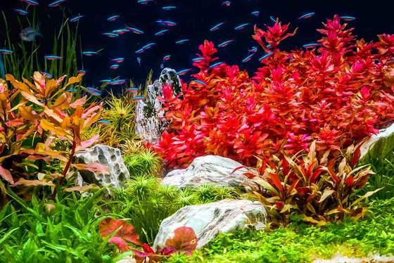 ¿Cuándo debo dosificar hierro en mi acuario plantado?