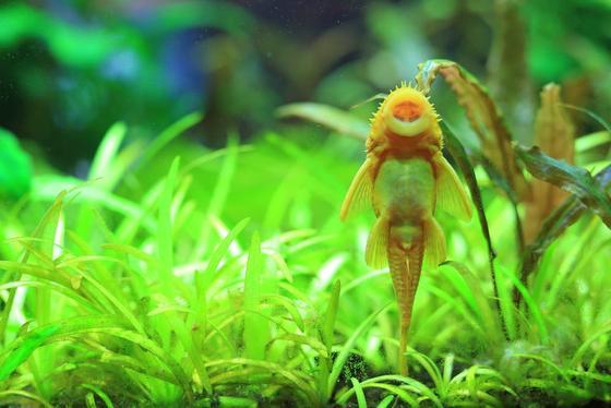 10 mejores comedores de algas para acuarios de agua dulce