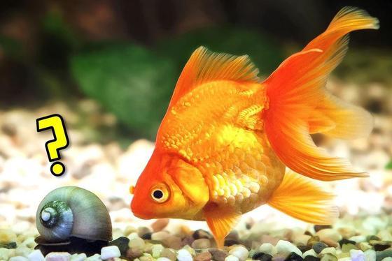 10 mejores compañeros de tanque para tu pez dorado