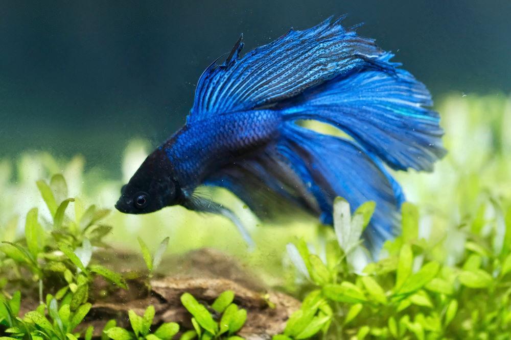 Pez Betta macho azul en un acuario plantado con plantas de alfombra