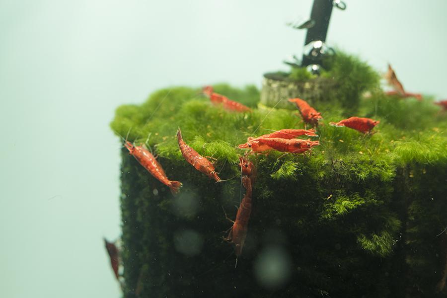 Conservación y cría de gambas Red Cherry - Neocaridina davidi