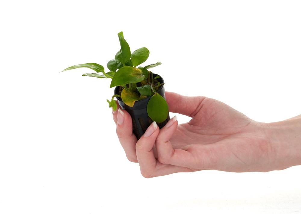 pudrición de anubias - hojas