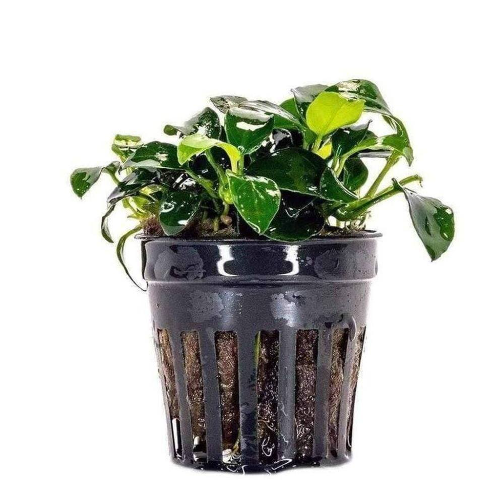 https://www.PecesyCorales.com/products/anubias-nana-petite