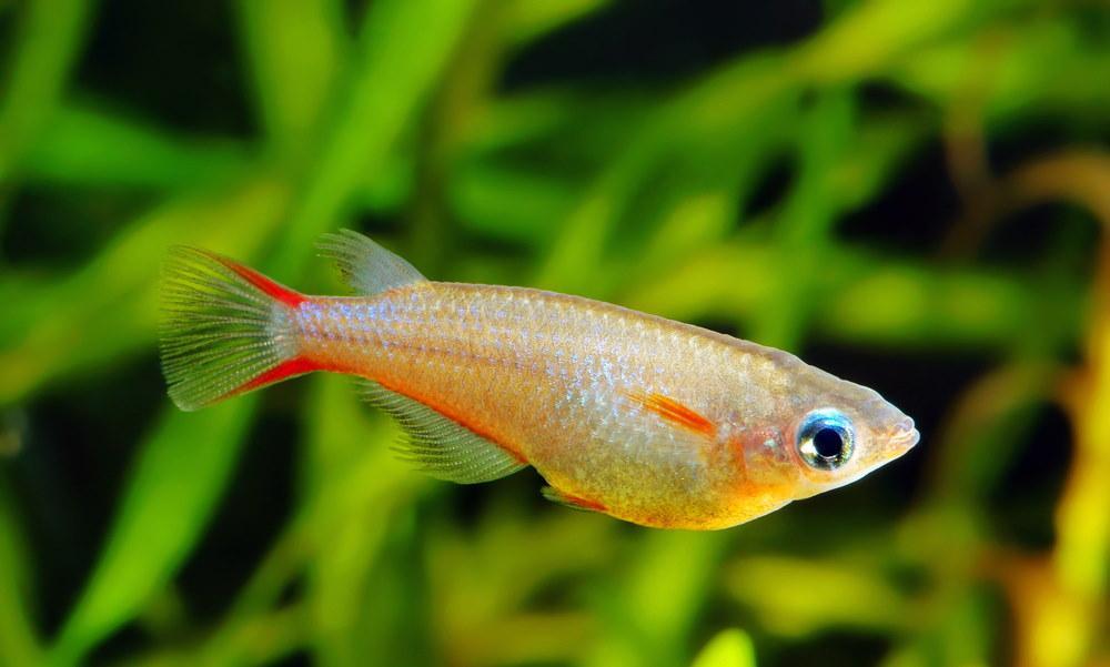 Adrianichthyidae - Ricefish