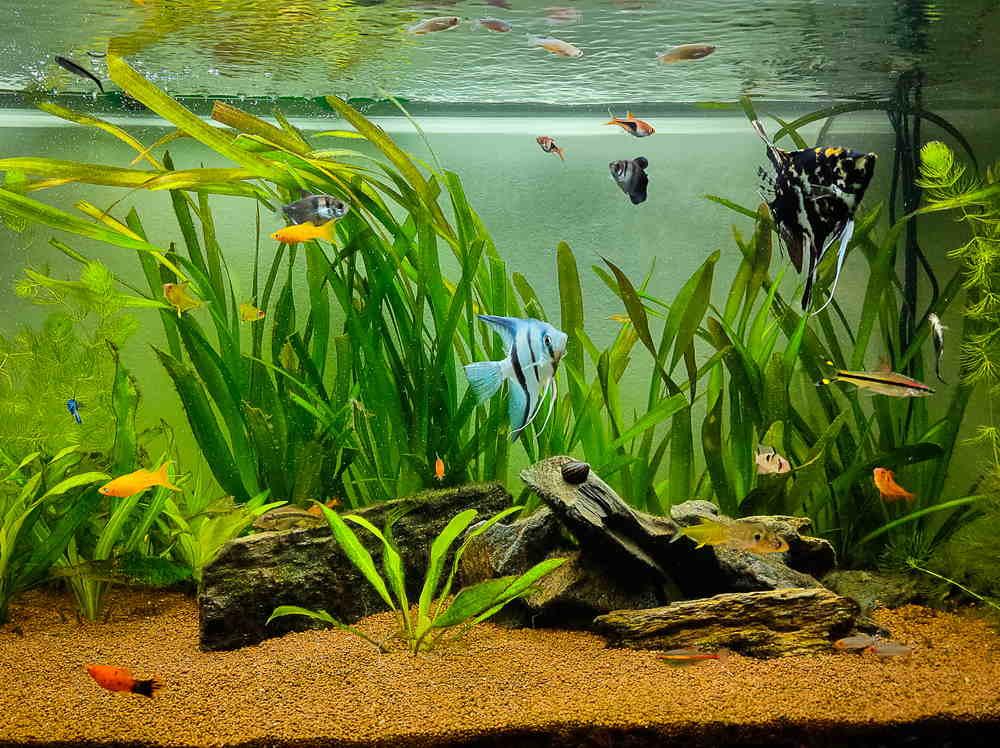 acuario plantado con vallisneria