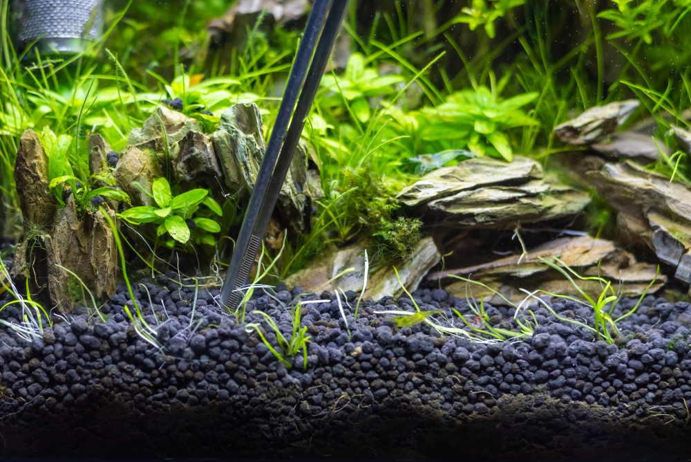 pinzas en acuario plantado