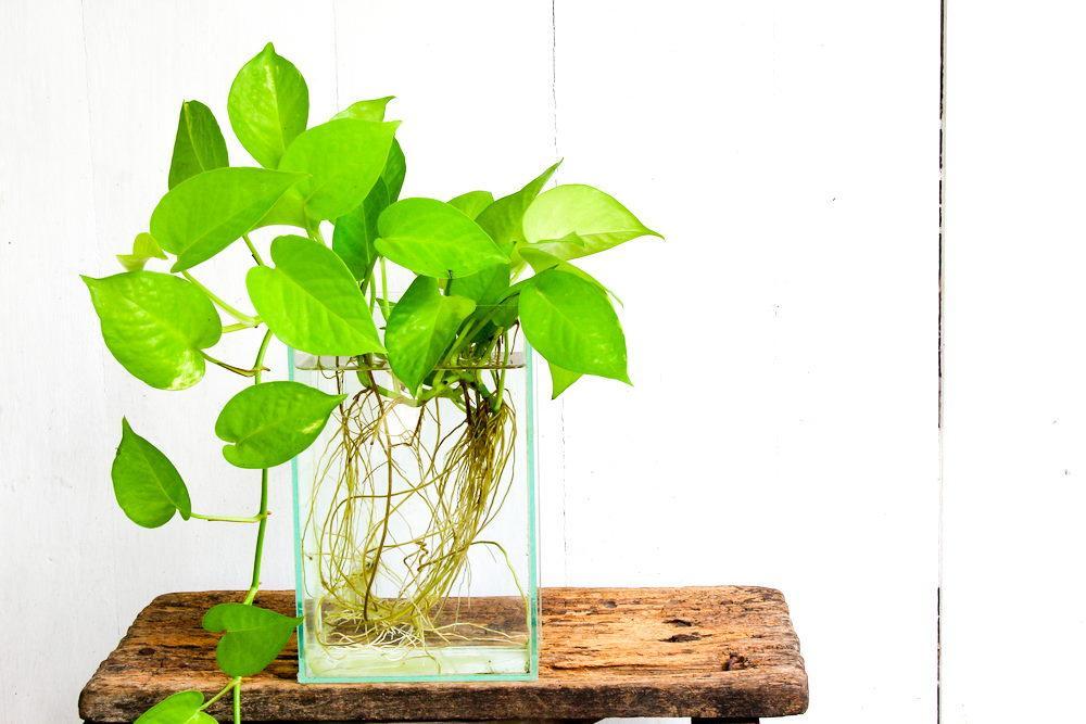 Planta de potos en florero de vidrio rectangular
