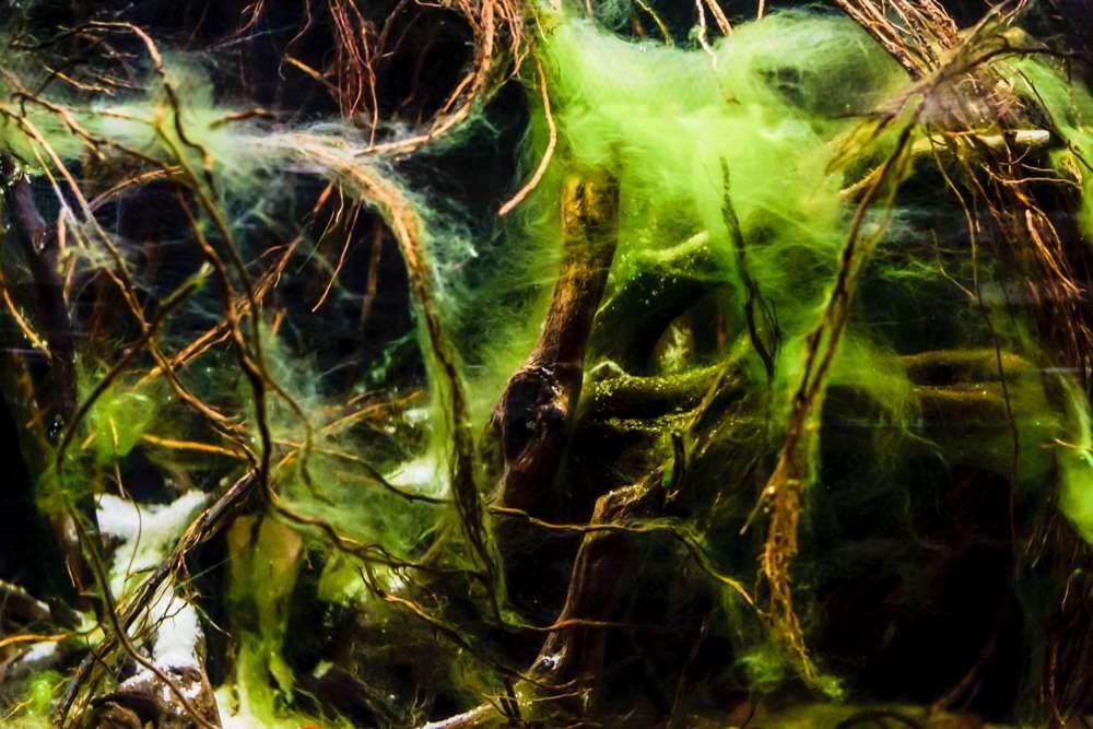 algas capilares