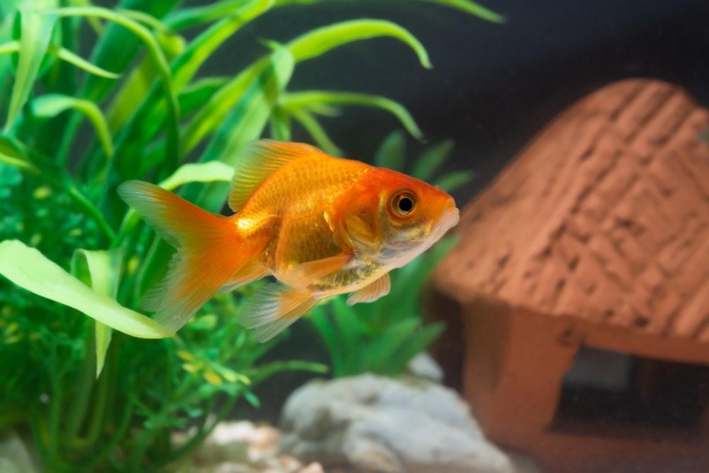 pez de colores naranja en el acuario