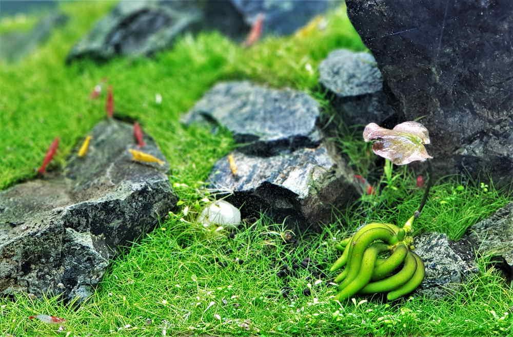 Planta de banano de acuario con camarones cereza