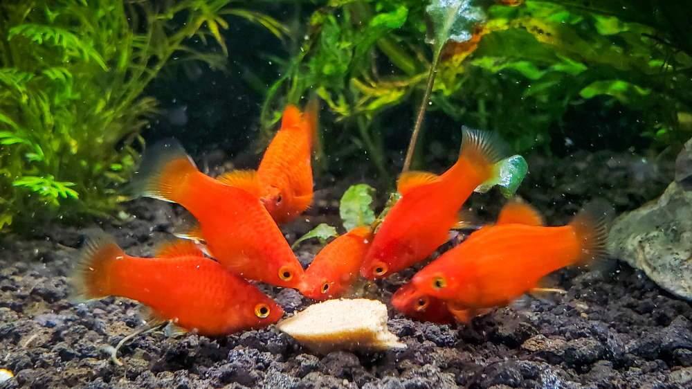 06 platies de coral rojo enano comiendo comida para peces en gel Repashy