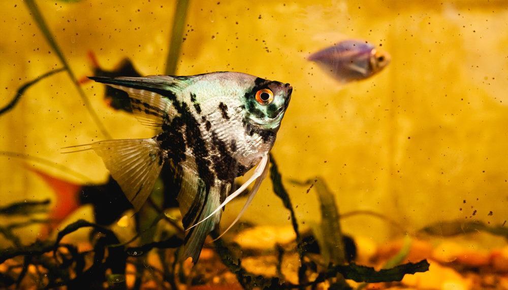 Acuario de agua marrón con pez ángel