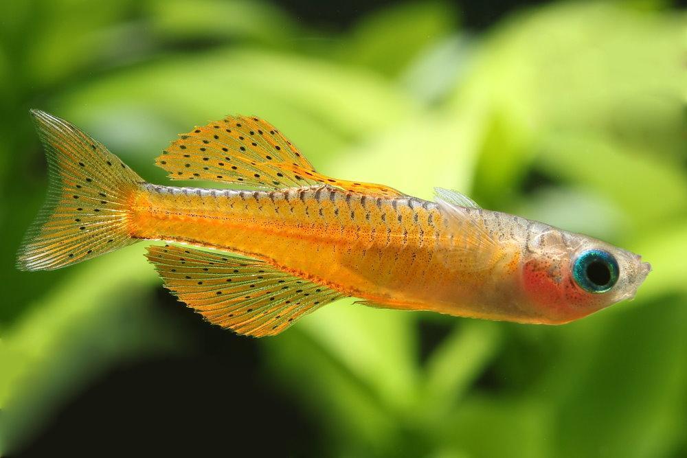pez arcoiris rojo neón