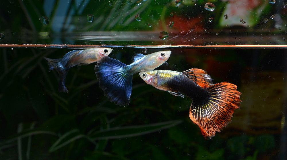 Guppies de lujo