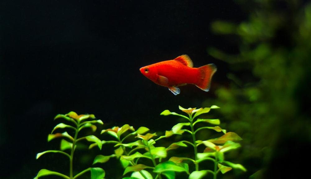 Pescado rojo platy