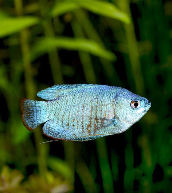 Gourami azul claro