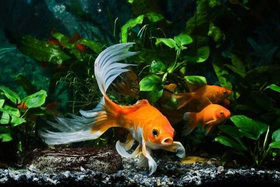 5 plantas fáciles para acuarios de peces de colores