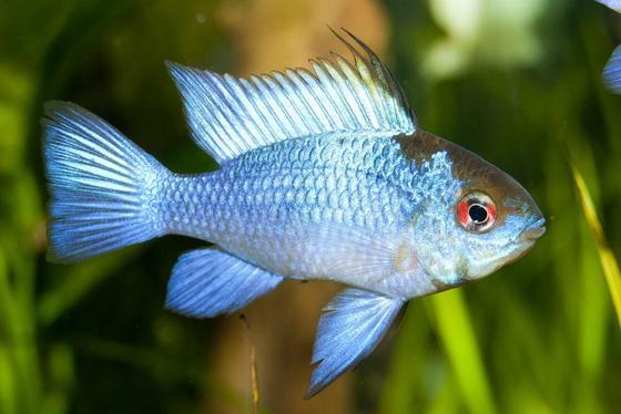 7 peces populares que debes probar en un acuario de 20 galones