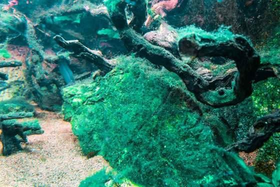Cómo deshacerse de las algas verdiazules en acuarios