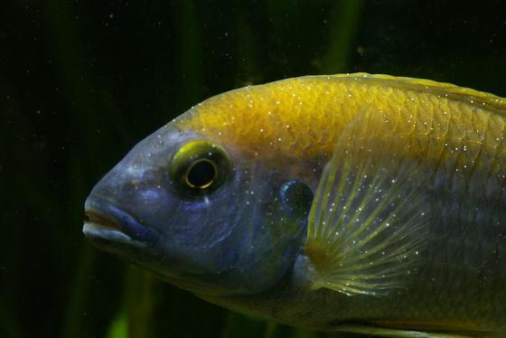 Cómo tratar la enfermedad de Ich o mancha blanca en peces de agua dulce