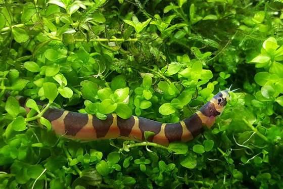 Guía de cuidado para las lochas Kuhli: el pez extraño más genial para principiantes