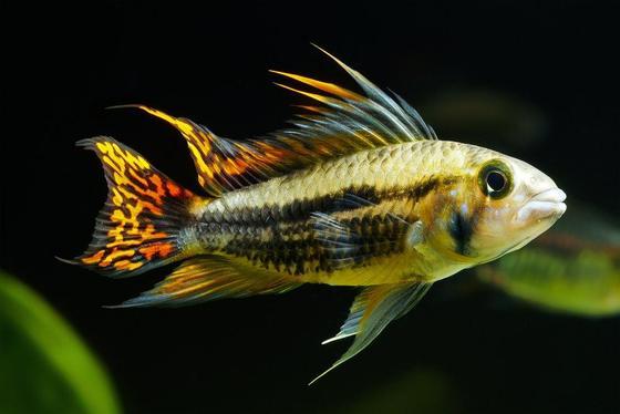 Los 10 mejores peces para un acuario de 10 galones