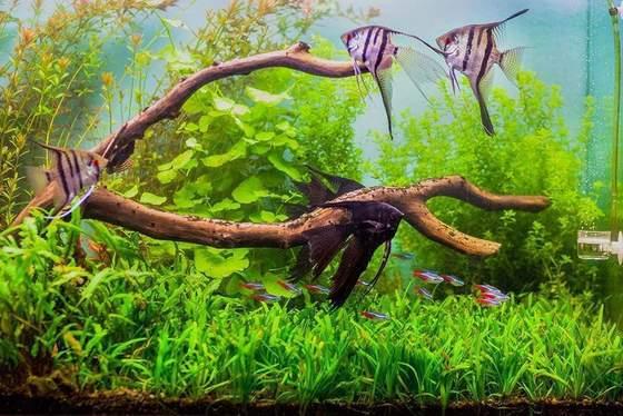 Los 5 mejores peces centrales para su acuario comunitario de tamaño pequeño a mediano