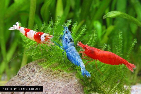 Overview of Freshwater Dwarf Shrimp – Popular Species, Tank Requirements, Feeding, and More
